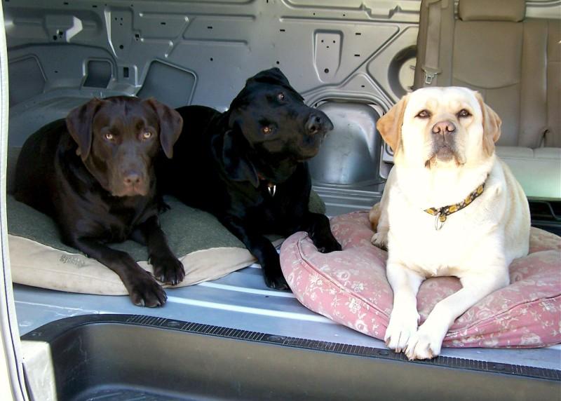 Labrador breeder ri